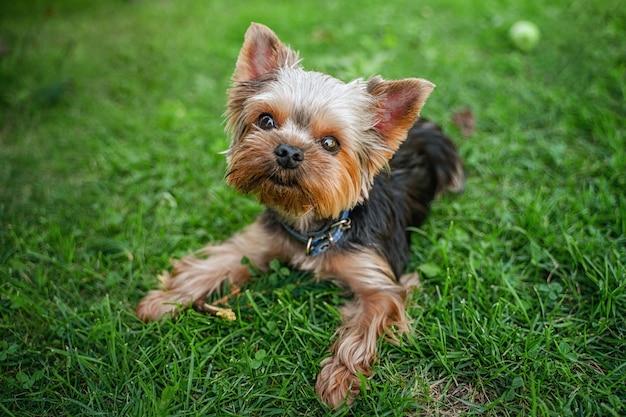 Cane divertente yorkshire terrier nel giardino estivo