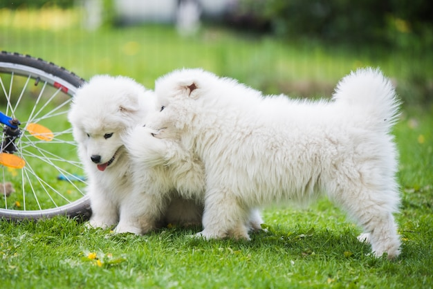 Divertenti e soffici cuccioli di samoiedo bianco stanno giocando