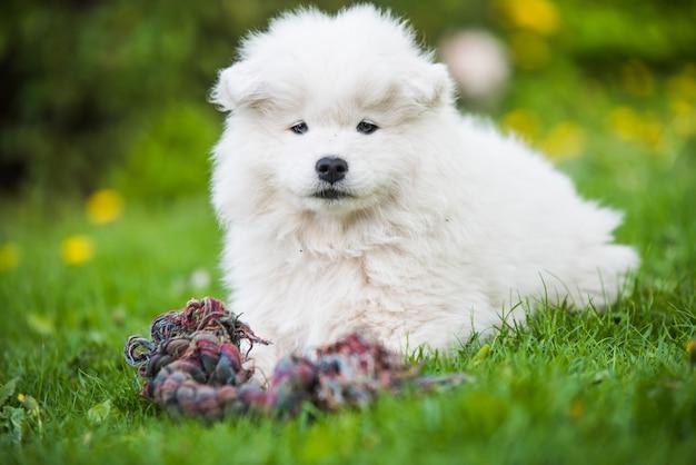 Il cucciolo di cane samoiedo bianco lanuginoso divertente sta giocando con il giocattolo to