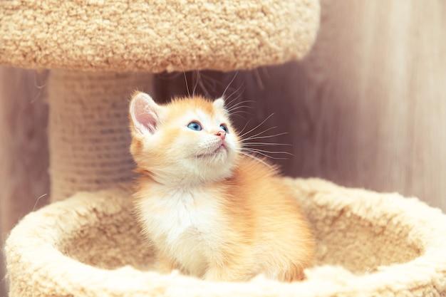 Il gattino britannico dello zenzero divertente si siede in una base del gatto.
