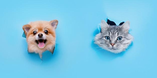 Gattino grigio divertente e cane sorridente con bellissimi occhi grandi su carta blu alla moda