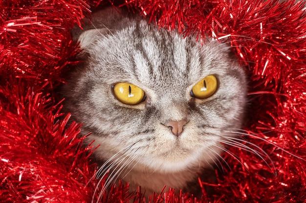 Divertente gatto grigio scottish fold con occhi gialli in festosa canutiglia rossa