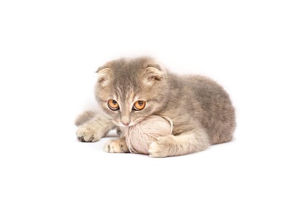 Gattino scozzese grigio divertente e gomitolo di filo isolato su bianco
