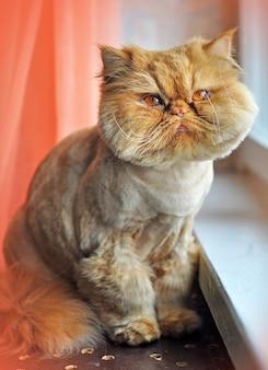 Il gatto persiano di toelettatura divertente è seduto sul davanzale della finestra
