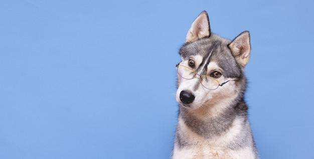 Un divertente cane di razza husky in bicchieri alla moda