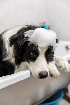 Divertente ritratto al coperto di cucciolo di cane border collie seduto nella vasca da bagno ottiene bagnoschiuma sotto la doccia con shampoo.