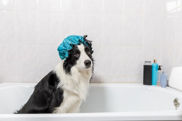 Divertente ritratto al coperto di cucciolo di cane border collie seduto nella vasca da bagno ottiene bagnoschiuma indossando la cuffia per la doccia.