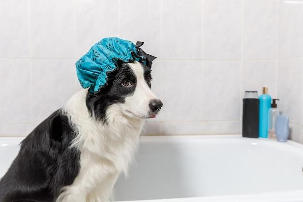 Il divertente ritratto al coperto di un cucciolo di cane border collie seduto nella vasca da bagno riceve un bagnoschiuma con una cuffia da doccia