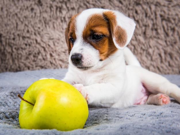 Il cucciolo di cane divertente di jack russell terrier sta mentendo con la mela gialla.
