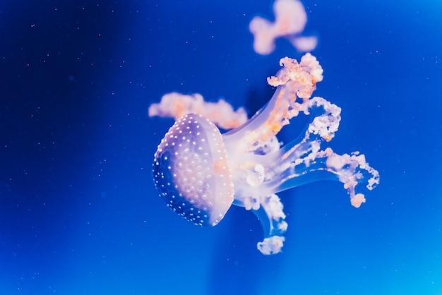 Le meduse bianche divertenti della gelatina viaggiano lentamente dentro un serbatoio dell'acqua di mare.