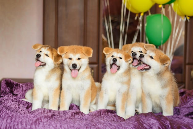 Cuccioli divertenti di akita inu con palloncini