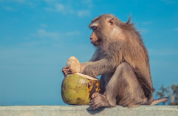 Scimmia divertente che cita una noce di cocco come dessert