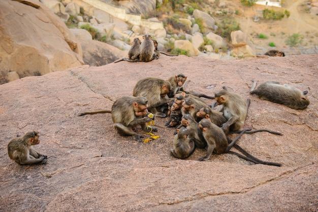 Famiglia di scimmie divertenti nelle antiche rovine di hampi