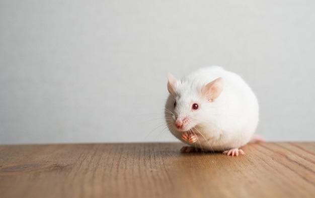 Il topo divertente si siede sul tavolo, mette le zampe sul muso