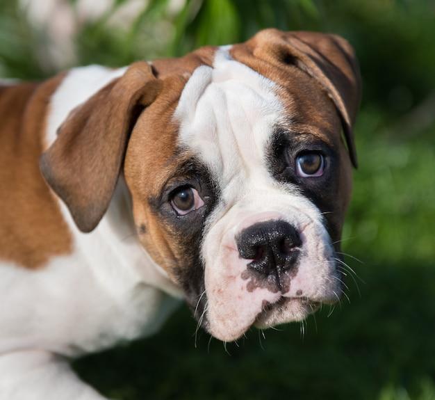 Cucciolo di bulldog americano rosso piacevole divertente sulla natura