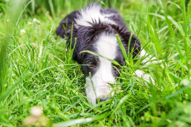 Divertente ritratto all'aperto di carino smilling cucciolo border collie sdraiato su sfondo di erba
