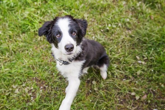 Divertente ritratto all'aperto di carino smilling cucciolo border collie seduto su sfondo di erba