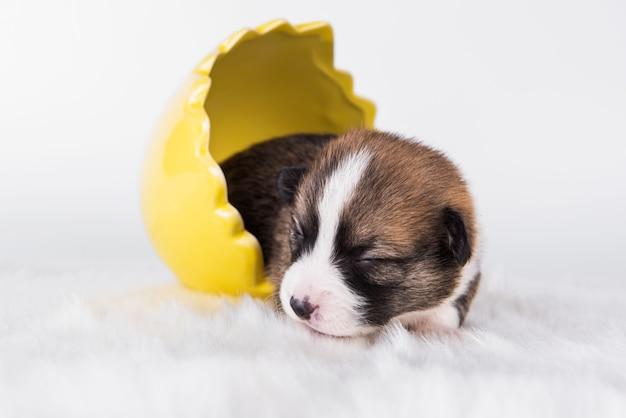 Divertente pembroke welsh corgi cucciolo di cane seduto nell'uovo isolato su sfondo bianco durante le vacanze di pasqua