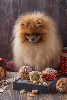 Cane pomeranian divertente con gli ossequi sulla tavola di legno. cane birichino cane pomeranian con muffin