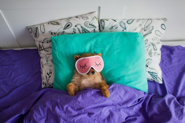 Cucciolo divertente di pomeranian che si rilassa sul letto nella maschera di sonno