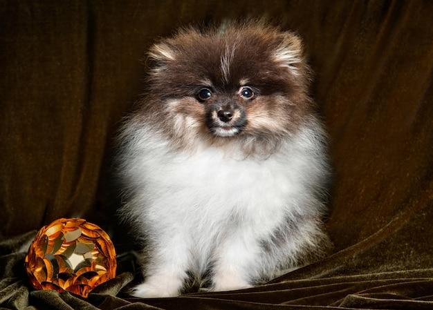 Cucciolo di cane divertente spitz di pomerania con palla di capodanno per il design sulla cartolina di natale