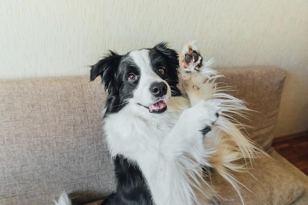 Divertente ritratto di carino cucciolo di cane border collie sul divano, giocando in casa al chiuso