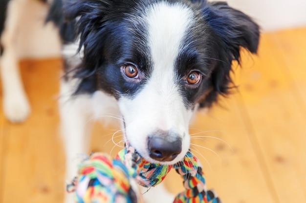 Ritratto divertente del cucciolo di cane sveglio border collie che tiene il giocattolo variopinto della corda in bocca