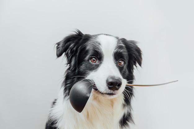 Divertente ritratto di carino cucciolo di cane border collie tenendo il cucchiaio da cucina mestolo in bocca isolato su sfondo bianco.