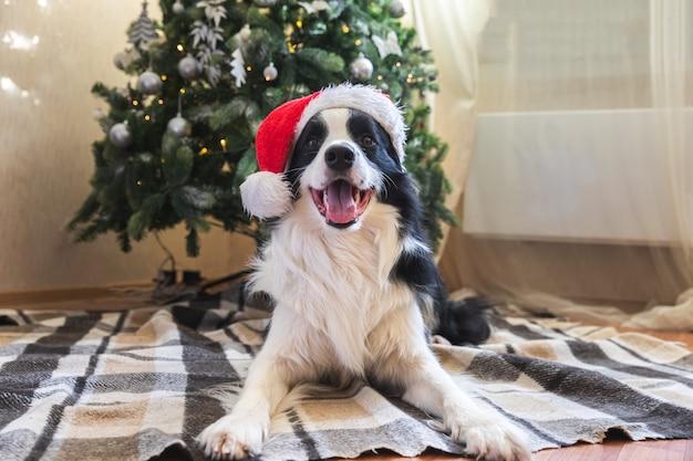 Divertente ritratto di un simpatico cucciolo di cane border collie che indossa il costume di natale cappello rosso di babbo natale vicino a ch...