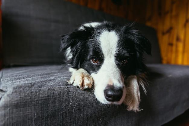Divertente ritratto di carino sorridente cucciolo di cane border collie sul divano al chiuso
