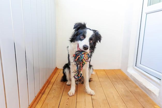 Divertente ritratto di carino sorridente cucciolo di cane border collie tenendo colorato giocattolo di corda in bocca. nuovo adorabile membro della famiglia cagnolino a casa che gioca con il proprietario. pet care e concetto di animali.