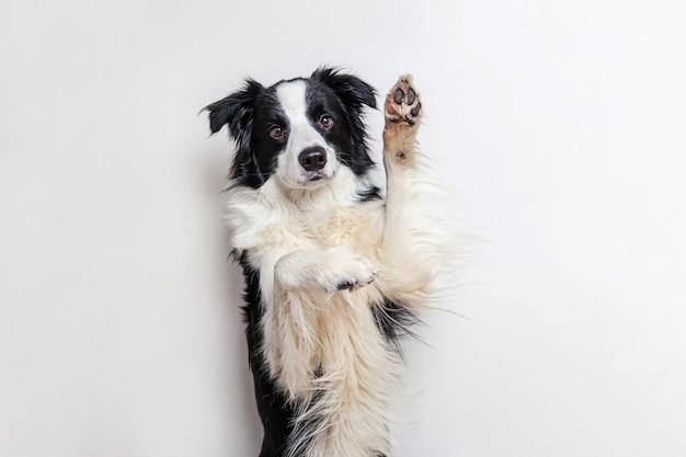 Ritratto divertente di border collie smilling sveglio del cucciolo di cane isolato su bianco. nuovo adorabile membro del cagnolino di famiglia che guarda e aspetta la ricompensa. concetto divertente di vita degli animali domestici.