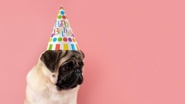 Cane divertente del pug che porta il cappello di buon compleanno su fondo rosa.