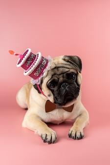 Cane divertente del pug che porta il cappello rosa di buon compleanno sul rosa.