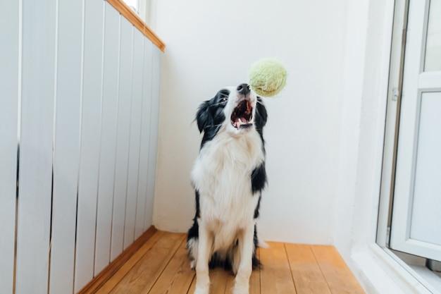 Divertente cucciolo di cane border collie tenendo palla giocattolo in bocca a casa a giocare con il proprietario