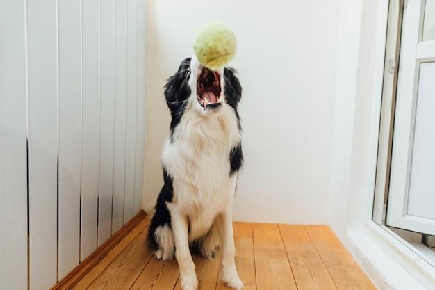 Divertente cucciolo di cane border collie tenendo palla giocattolo in bocca a casa