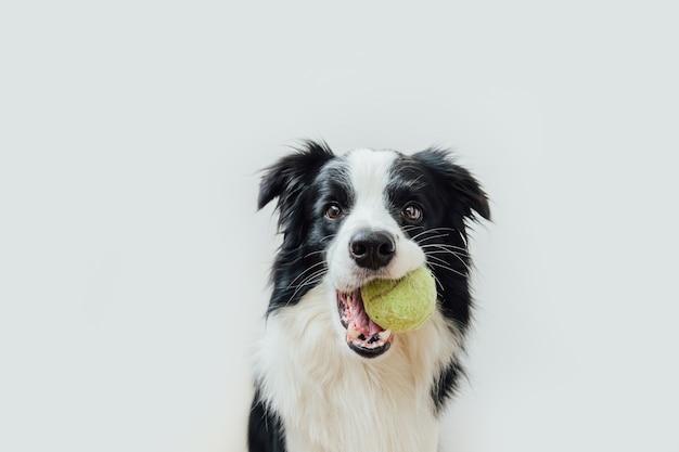 Divertente cucciolo di cane border collie tenendo palla giocattolo in bocca isolati su sfondo bianco