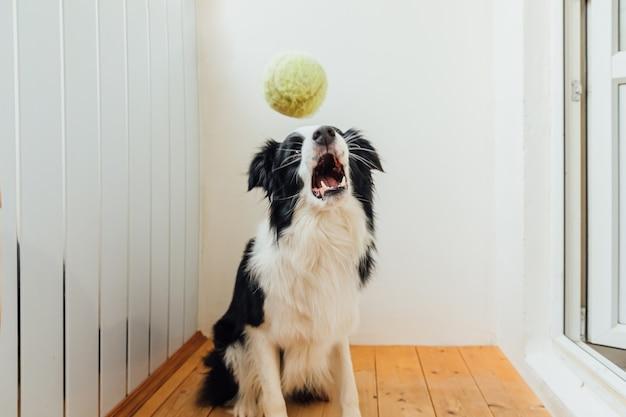Divertente cucciolo di cane border collie tenendo palla giocattolo in bocca