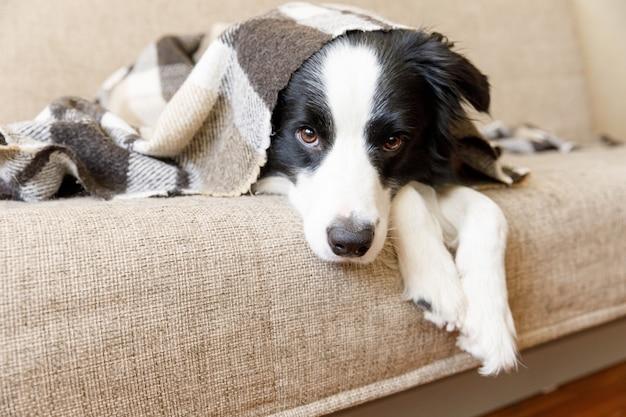 Divertente cucciolo di cane border collie sdraiato sul divano sotto il plaid al chiuso