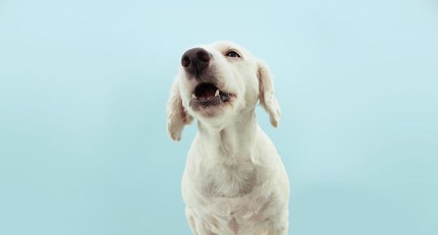 Cucciolo di cane divertente che osserva in su. isolato su sfondo colorato di blu.