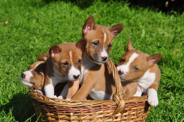 Basenji rosso divertente insegue il cucciolo nel cestino su erba verde