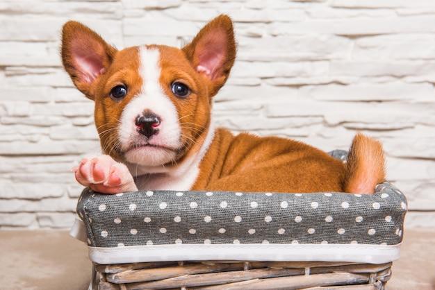 Divertente cucciolo di cane basenji rosso nel cestino, biglietto di auguri