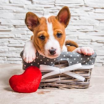 Divertente cucciolo di cane basenji rosso nel cestino con cuore rosso il giorno di san valentino, biglietto di auguri
