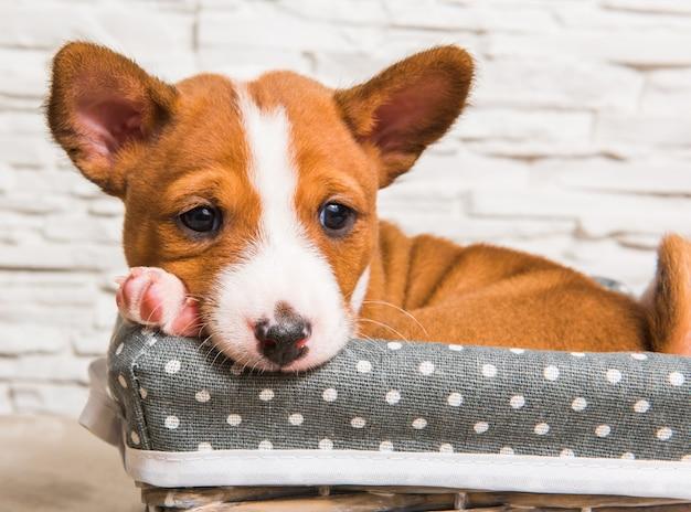 Divertente cucciolo di cane basenji rosso nel cestino