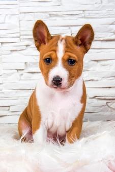 Il cucciolo di cane basenji rosso divertente è seduto in piume bianche
