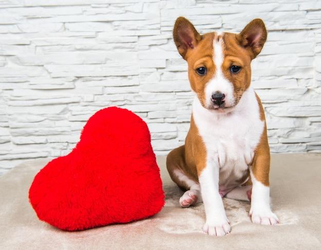 Divertente cucciolo di cane basenji rosso con grande cuore rosso