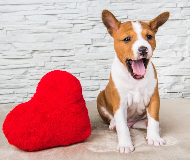 Divertente cucciolo di cane basenji rosso con cuore rosso, il cane sorride