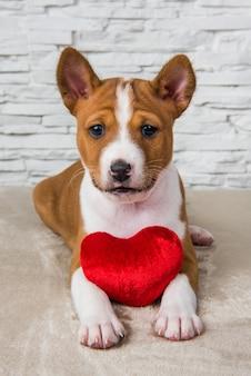 Cucciolo di cane basenji rosso divertente con piccolo cuore rosso