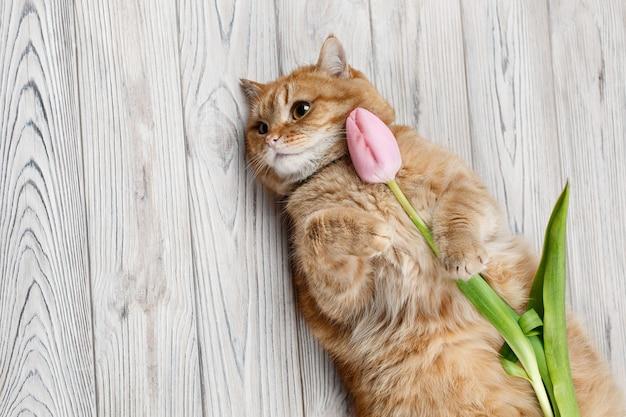 Il gatto rosso divertente tiene il tulipano rosa del fiore in zampa con lo spazio della copia per testo su fondo di legno