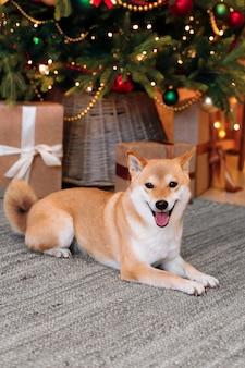 Il divertente cane rosso shiba inu giace su un tappeto grigio sotto un albero di natale decorato